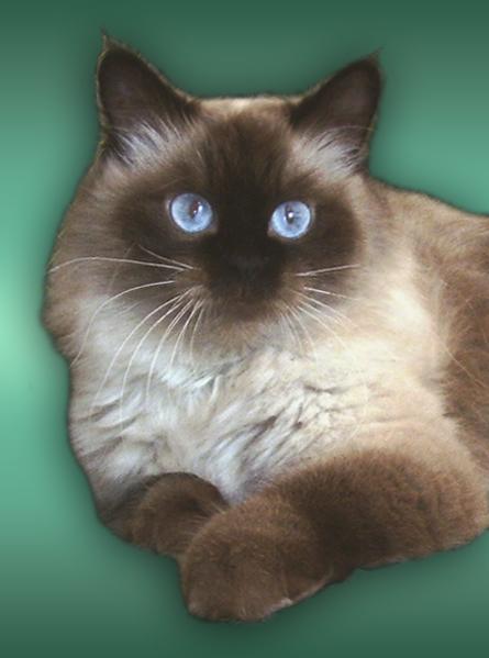 Невская маскарадная кошка невские